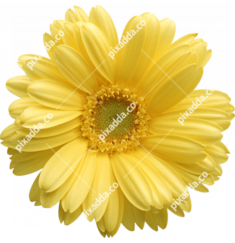sunflower PNG transparent