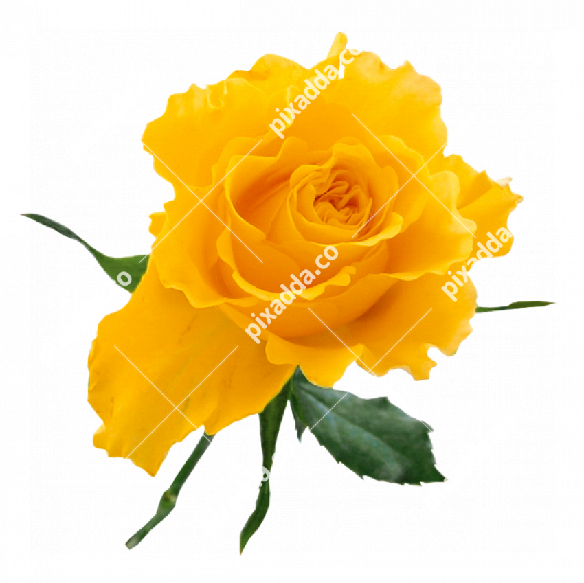 yellow rose transparent PNG