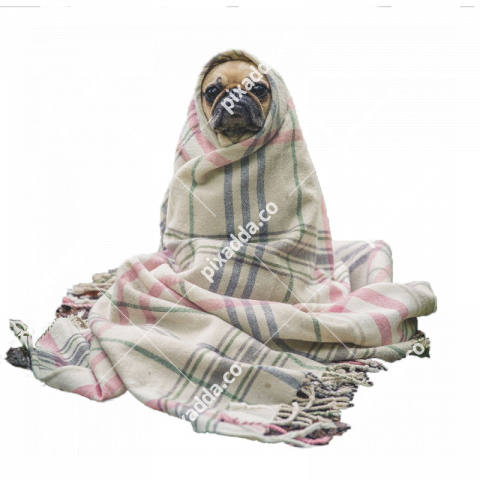 pug in blanket png
