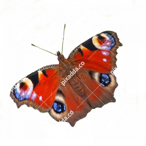 peacock butterfly png transparent background