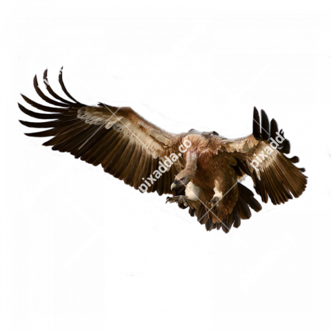 vulture png transparent background