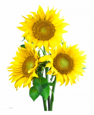 sunflower image with transparent background