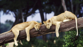 two lions on a tree