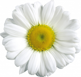 white yellow flowers png images