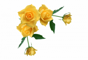 yellow rose flower free png transparent images free